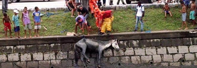 Cavalo é resgatado após cair em canal, no Recife