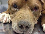 Cão Pitbull é amarrado pela pata e arrastado por trem em Curitiba