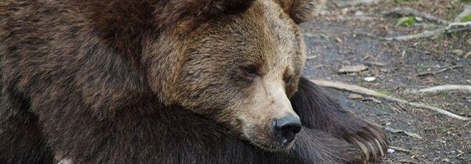 Urso explorado por treinadora de circo é resgatado por ativistas na Rússia