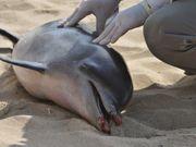 Falta de fiscalização dificulta combate à morte de animais marinhos