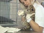 Filhote de onça recebe tratamento após ser resgatado em Araçatuba, SP