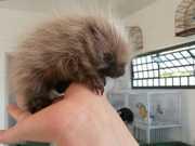 Filhote de ouriço de menos de 5 dias é resgatado em avenida de Botucatu, SP