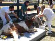 Cavalo morre por causa de maus-tratos e abandono em Garça, SP