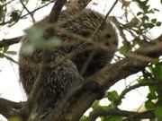 Bombeiros resgatam ouriço de árvore na região central de São Carlos, SP