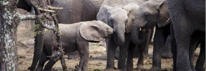 Marcha pelos Elefantes quer salvar animais da extinção