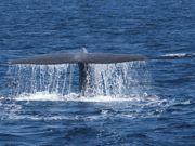 Baleias azuis da Califórnia se recuperam após anos de caça