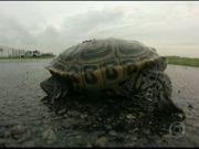 EUA: Tartarugas atravessam pista de pouso construída em seu habitat
