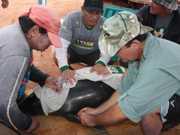 AM Manacapuru peixeboi 543edd2b5d272 thumb