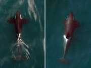 CANADA baleias-do-canada-drone thumb