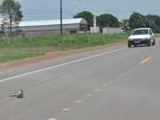PA santarem macaco rodovia br-163 thumb