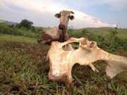 PR maringa vaca thumb