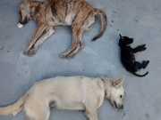 Maceió: Promotor diz que mortes de cães têm atribuições civis, e não criminais