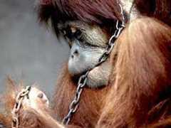 Grupo pede que Justiça considere orangotango como 'pessoa não humana'