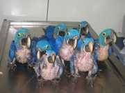 Pássaros são alvo predileto do tráfico internacional