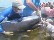 Golfinhos são devolvidos ao mar após encalhe no CE