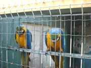 Aves com suspeitas de maus-tratos são apreendidas em Guarapari, ES