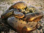 Programa com homem sendo comido vivo por cobra gera revolta de grupo de direito dos animais