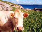 'Vocês são os que não comem carne, né?' e o gado com fones de ouvido