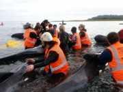 Trinta e seis baleias morrem ao ficarem encalhadas na Nova Zelândia