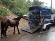 Cavalo vítima de maus-tratos é recolhido em Petrópolis, RJ