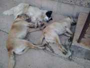 Mais de 60 animais são encontrados mortos em Bom Jesus, RS