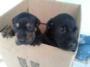 Garis encontram filhotes de cachorro dentro de saco de lixo em Blumenau, SC