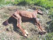 Maus-tratos: égua morre de fome e sede em São José do Rio Pardo, SP