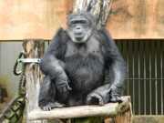 Blackie, finalmente, pode viver seus últimos anos junto de seus semelhantes