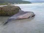 Golfinho é encontrado morto na praia das Toninhas, em Ubatuba, SP