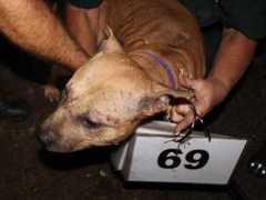 69 cachorros que eram usados para brigas são resgatados e têm uma segunda chance