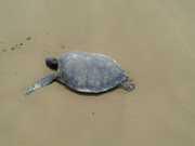 AL tartarugasmortas img-20141214-wa0006 thumb