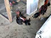 Trio é preso em casa que era usada para a realização de rinha de galo em Manaus