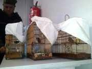 Quatro são detidos em Manaus por usarem curiós para atrair mais pássaros