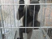 Polícia Ambiental resgata macaco em área urbana de Manaus
