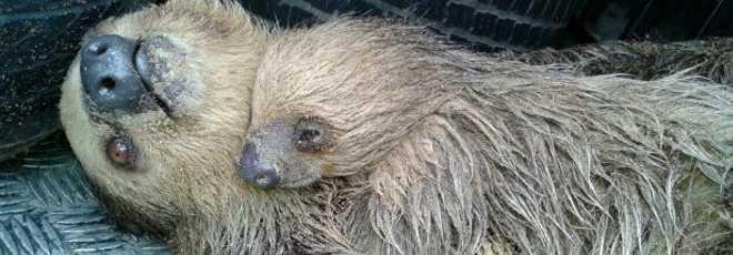 Preguiça-real é resgatada agarrada a filhote no Tarumã, em Manaus