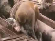 Vídeo mostra um macaco salvando e reanimando outro após eletrocussão