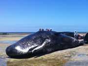 Sete baleias morrem encalhadas na Austrália