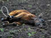 BA laurodefreitas stop-the-rodeo-cruelty-photo-6 thumb