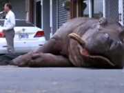 Vídeo mostra a agonia de hipopótamo que caiu de camião e morreu