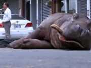CHINA hipopotamo camiao thumb