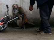 Imagens impactantes mostram pavor de macaco diante do treinador em circo