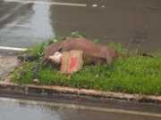 Cavalo atropelado é deixado por mais de 14 horas em rua do DF