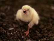 Cenas fortes: dono de granja faz vídeo mostrando como vivem os frangos
