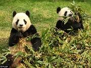 Cães são apreendidos pela polícia após circo pintá-los para se parecerem com pandas