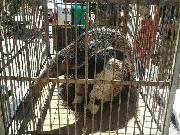 PM Ambiental captura tamanduá-bandeira e ouriço que estavam nas ruas de Uberlândia