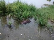 Capivara é encontrada morta na Lagoa Maior, em Três Lagoas, MS
