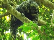 Nova espécie de macaco é encontrada entre a Amazônia e o Pantanal