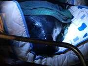 Em Santarém (PA), peixe-boi de 120 kg encalha e é resgatado