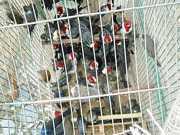 Policiamento Ambiental captura mais de 1,3 mil aves silvestres este ano na Paraíba