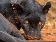 Ameaçada de extinção, onça-preta é capturada pela 1ª vez em parque do PI